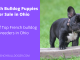 French Bulldog Puppies for Sale in Ohio