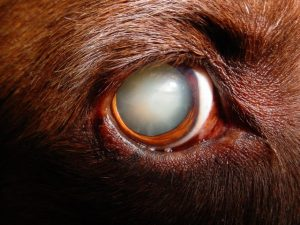 Dogs with Cataracts